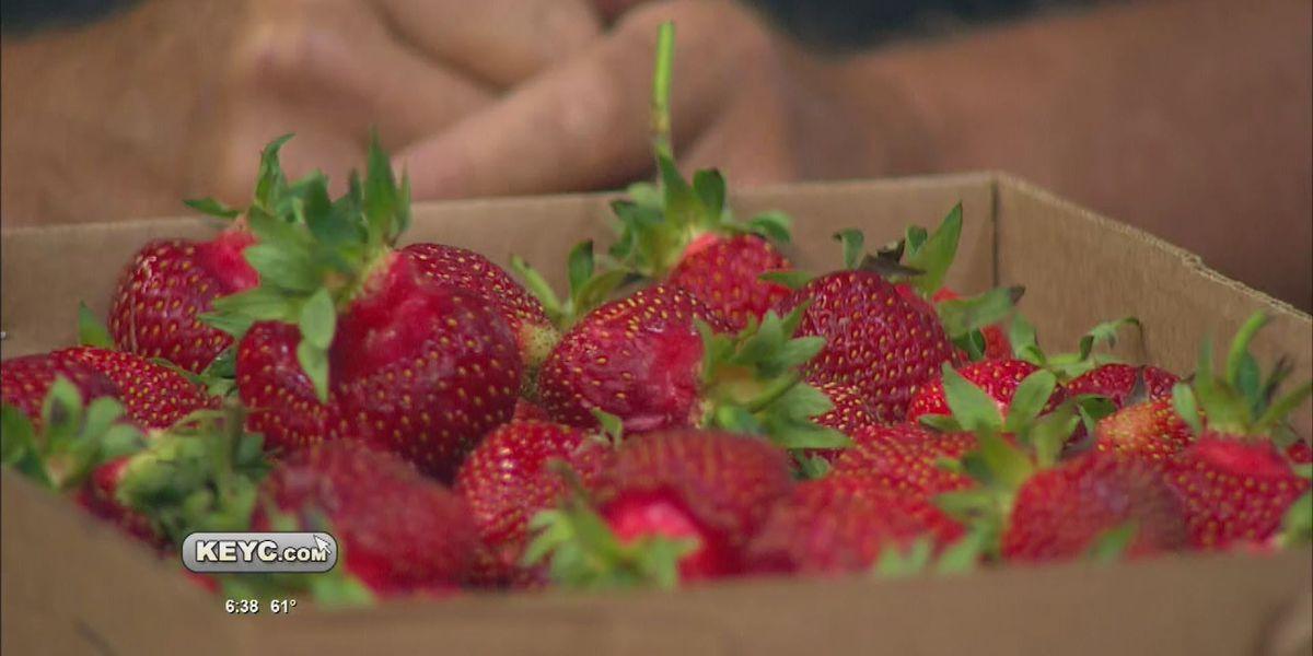 Strawberry picking season ramping up in southern Minnesota