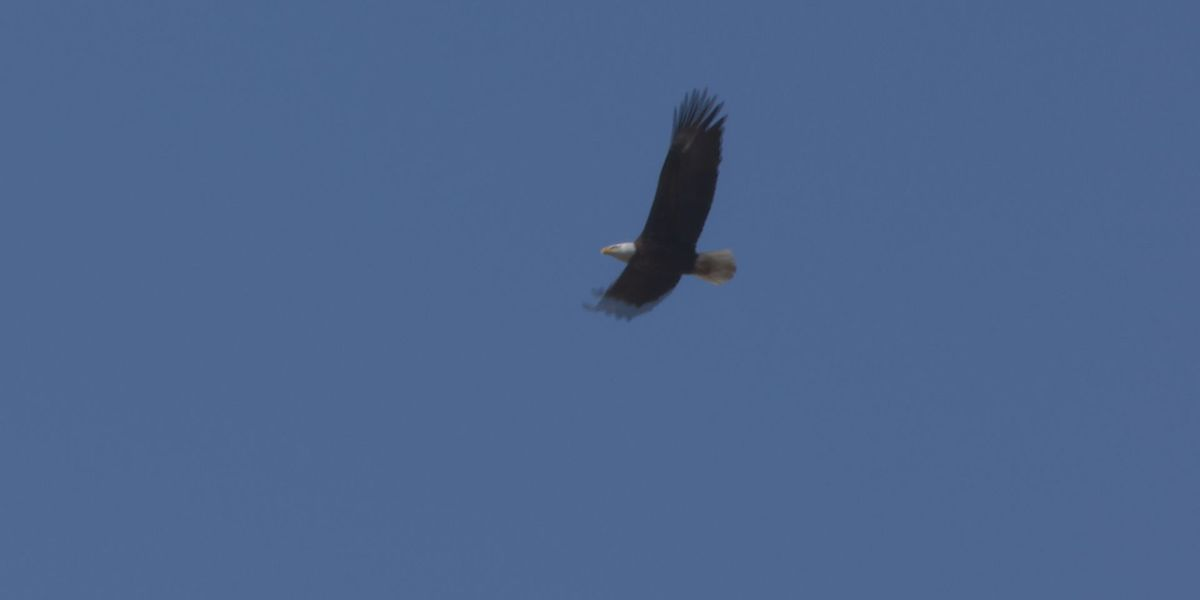 Goose Lake residents spotting more bald eagles this year