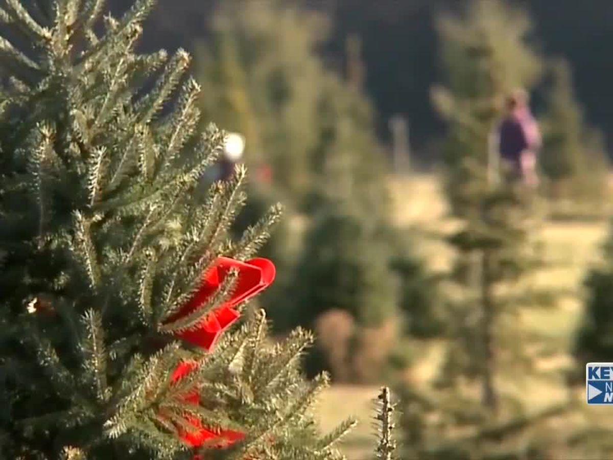 Christmas tree farm business booming