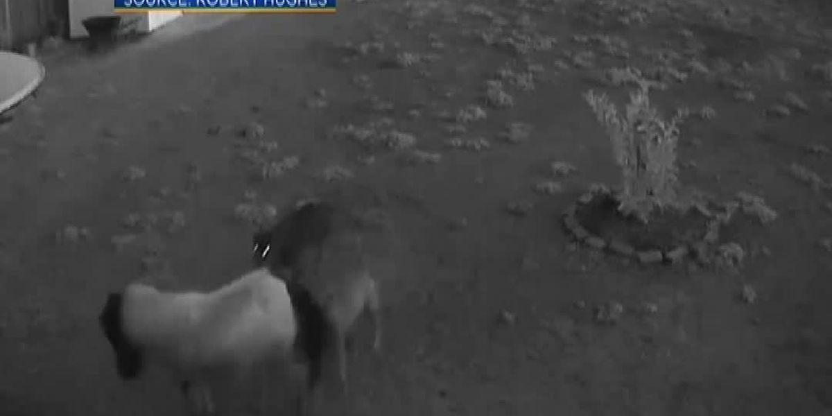 Stray pit bulls kill California couple's miniature horses