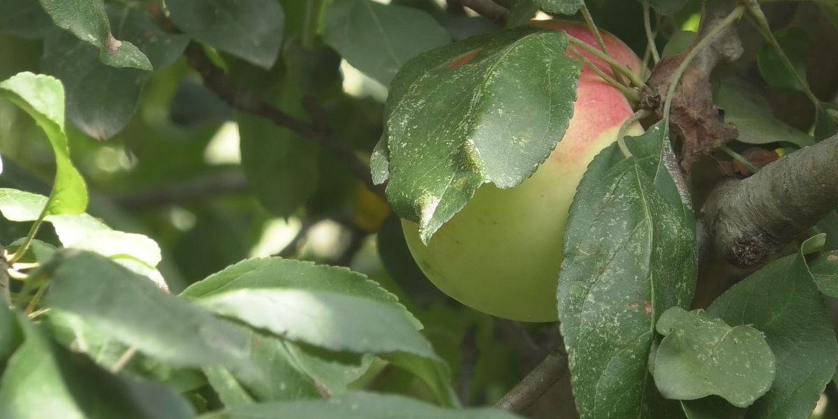 Apple season begins in Minnesota