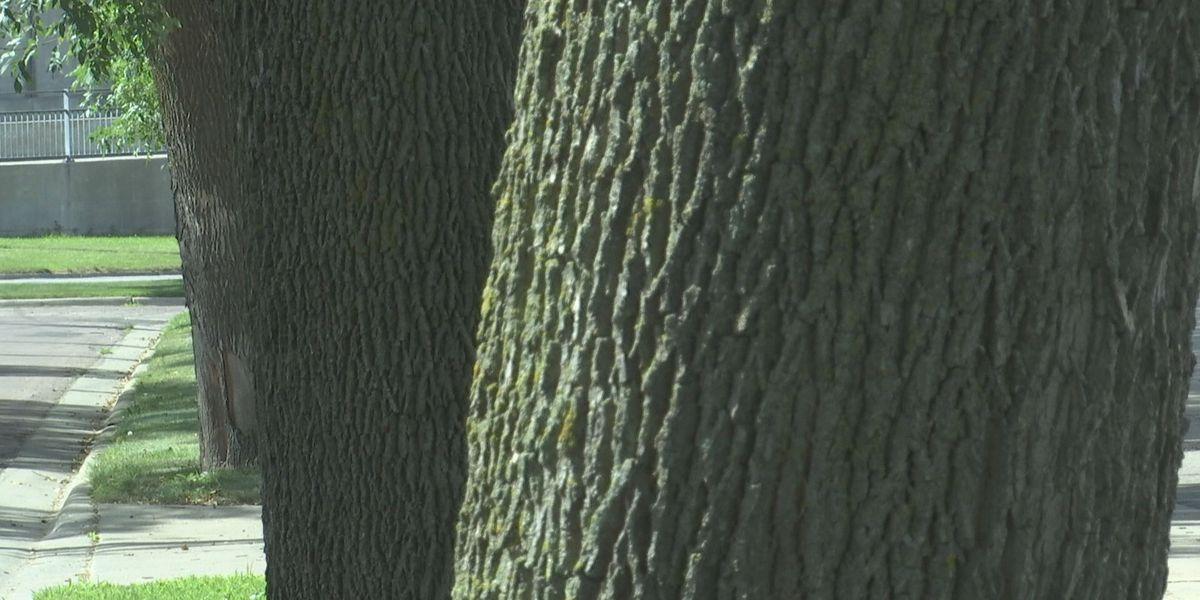 Emerald ash borer confirmed in Steele County