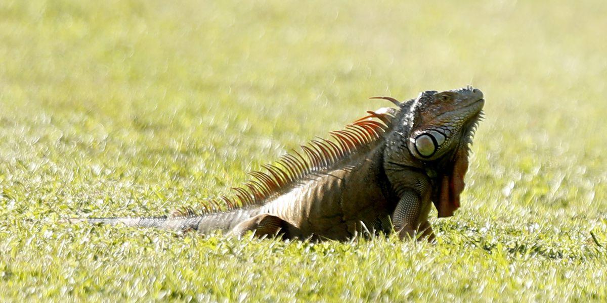 'Falling iguanas possible tonight,' National Weather Service warns