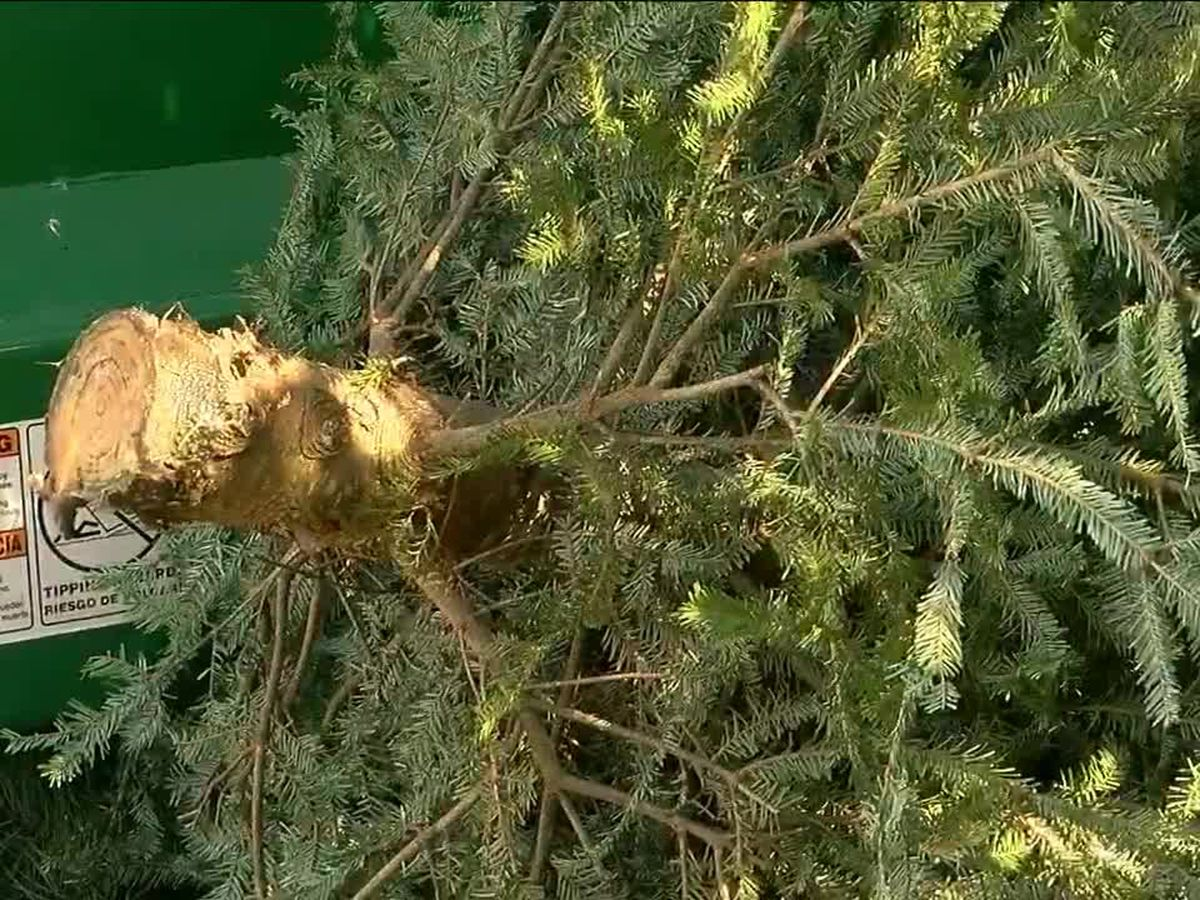 Mankato offers free recycling of natural holiday trees