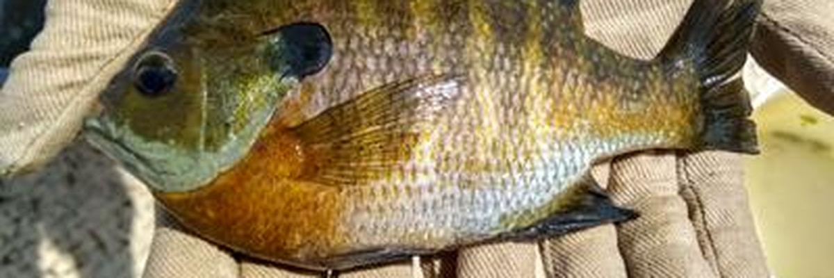 Minnesota DNR says to keep smaller sunfish, release large ones
