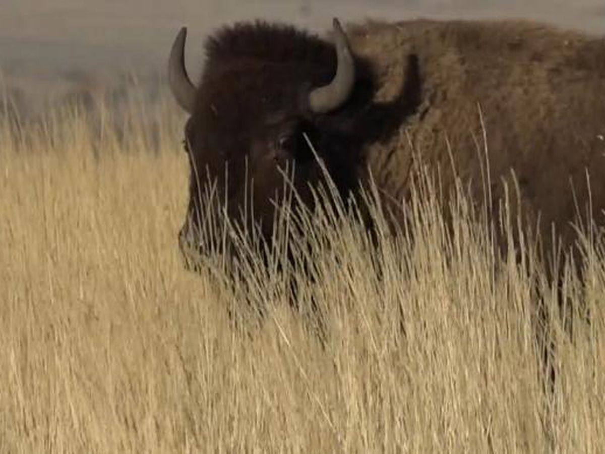 Bill aims to clarify buffalo meat product labeling