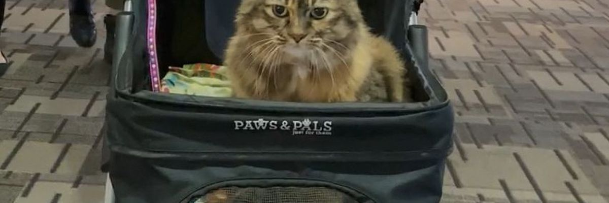 New therapy cat comes to MSP Airport