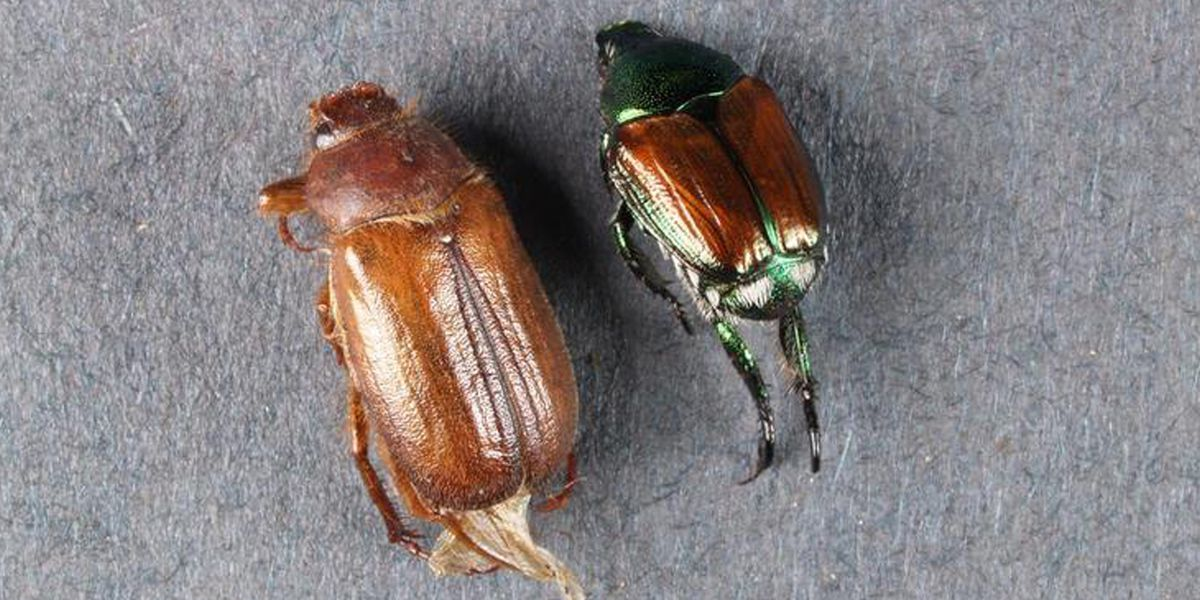 European chafer beetle discovered in Minnesota for the first time