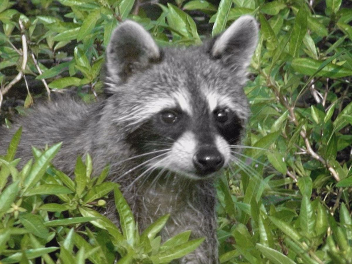 Raccoons infiltrate city of Minnesota Lake
