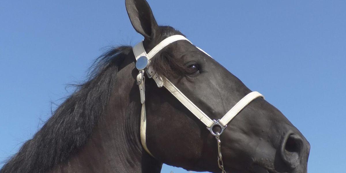 Le Sueur County Fair holds draft horse show