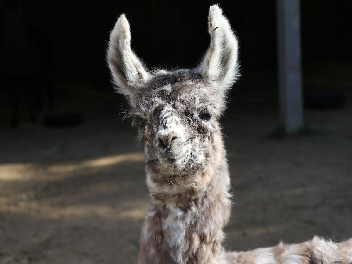 Minnesota Zoo welcomes birth of llama