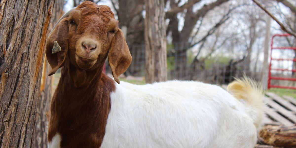UMN Extension invites public to goat-focused education event in Le Center