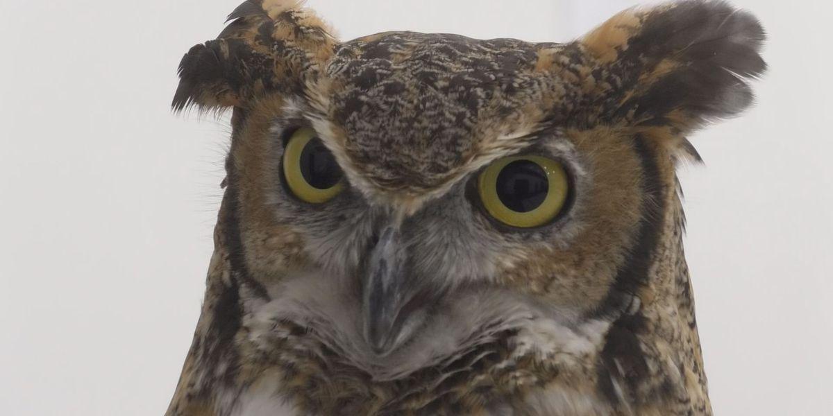 Gaylord Eggstravaganza brings International Owl Center Program