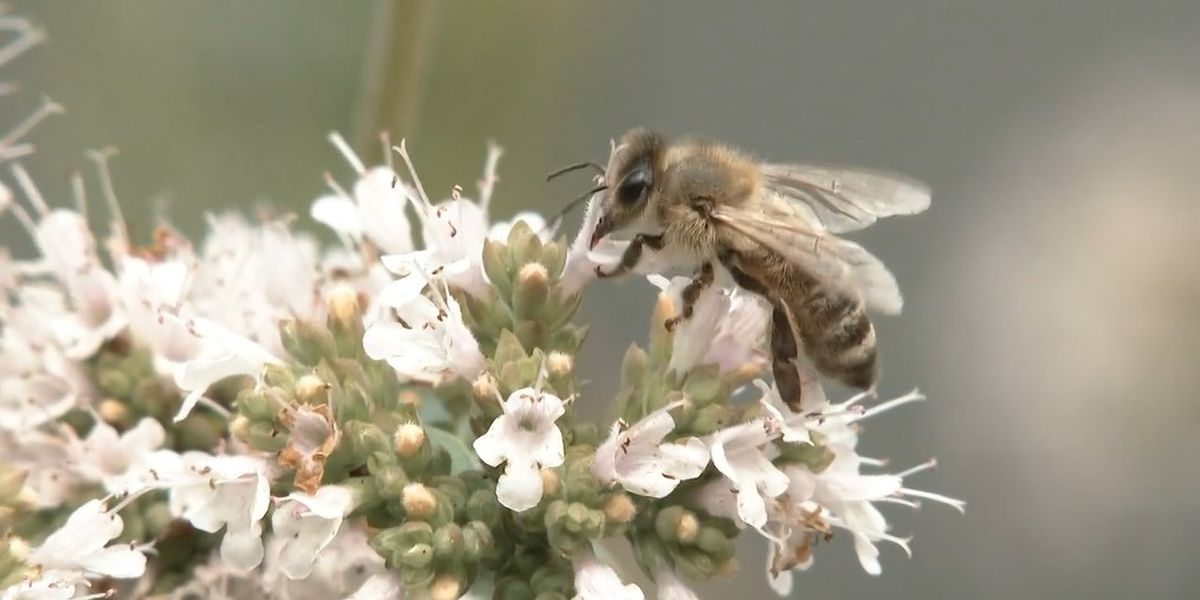 North Mankato man fights to keep natural yard, encourages pollinating lawns