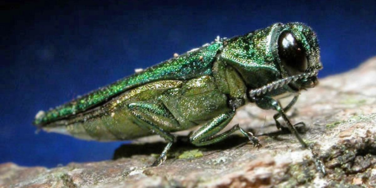 Emerald Ash Borer found in Cottonwood County