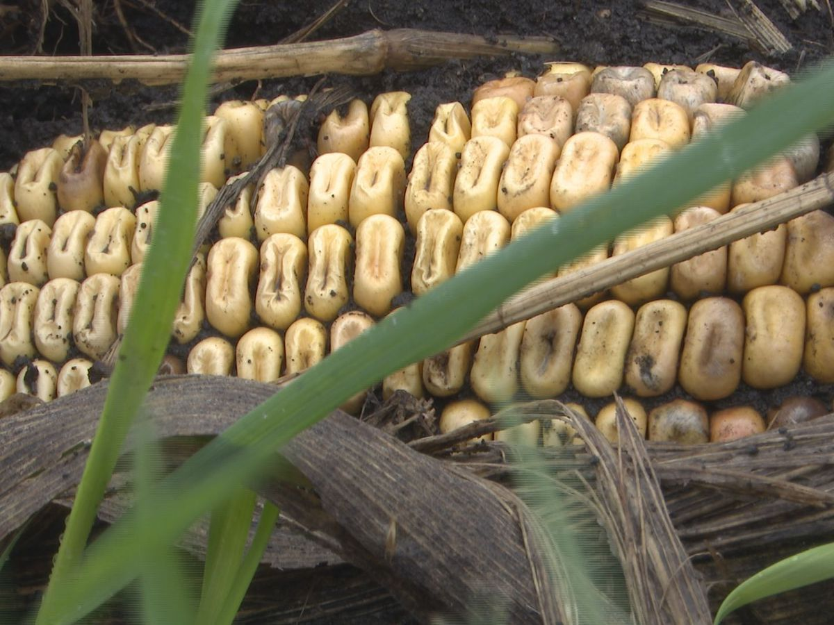 After years of financial struggle, 2020 profitable for Minnesota farmers