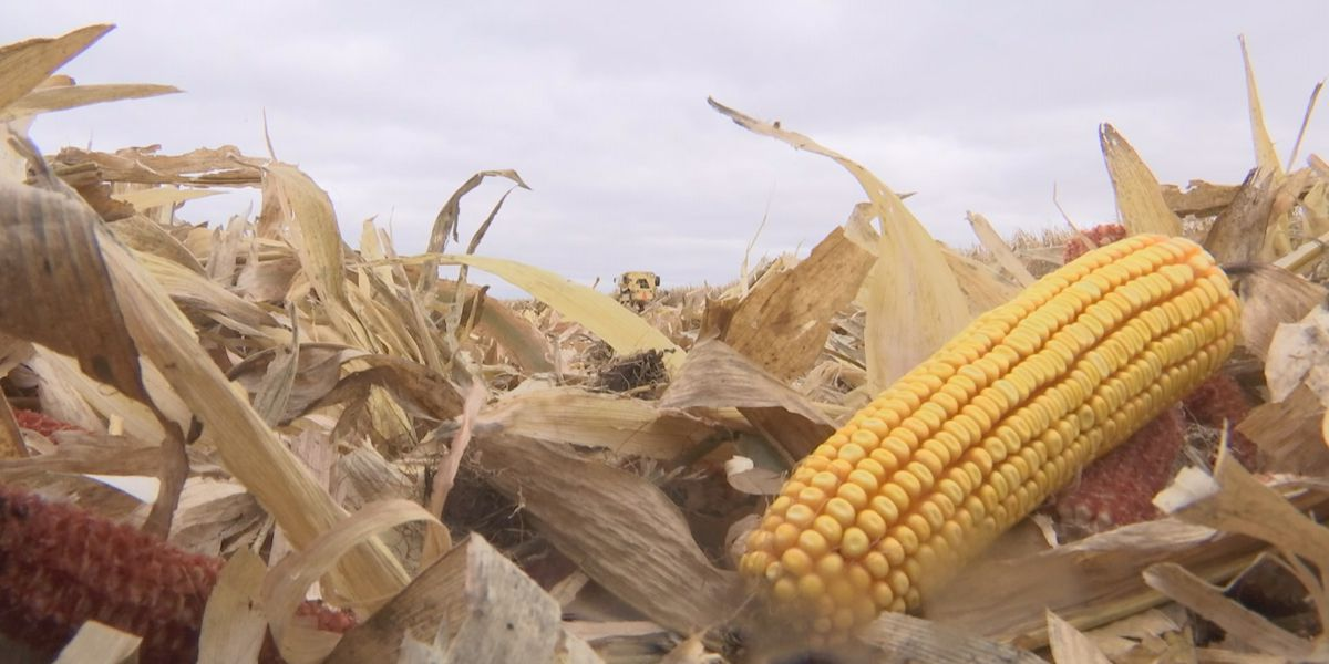 Minnesota harvest progress stays behind five-year average in latest crop report