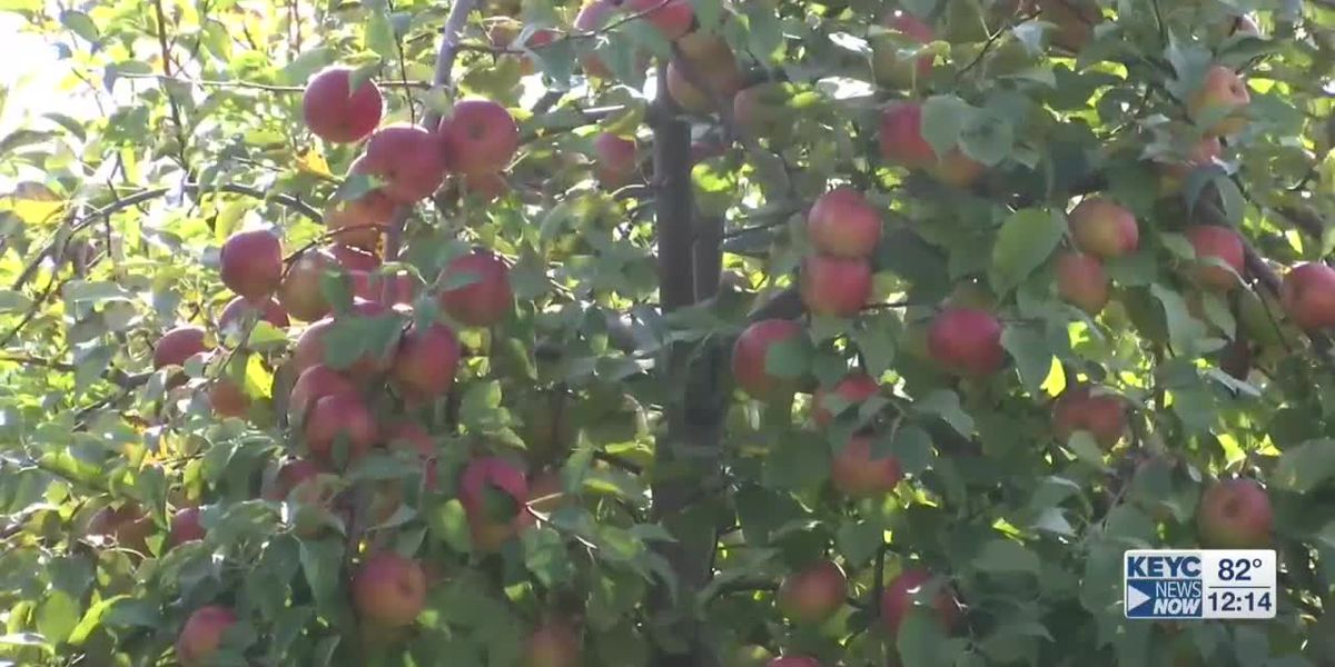 First apples of the season ready for picking