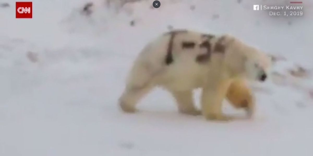 Graffiti-painted polar bear roams Russian wilderness