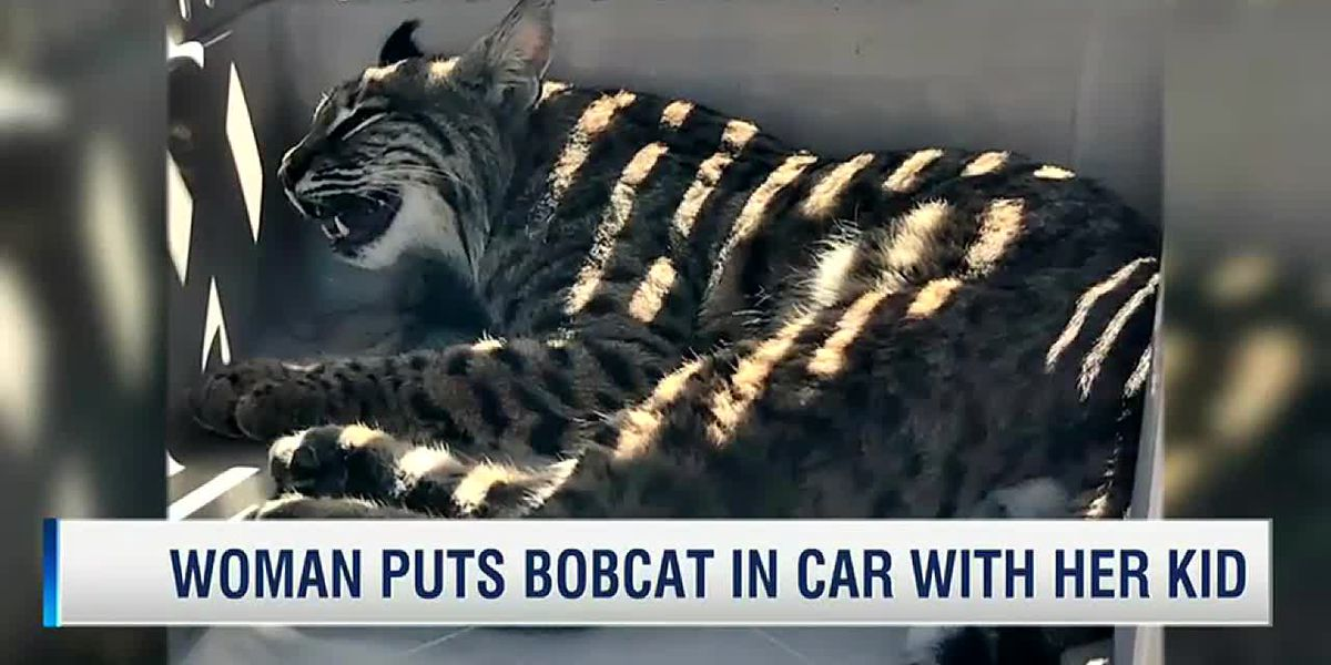 Colorado mom puts injured bobcat in her car next to her young son