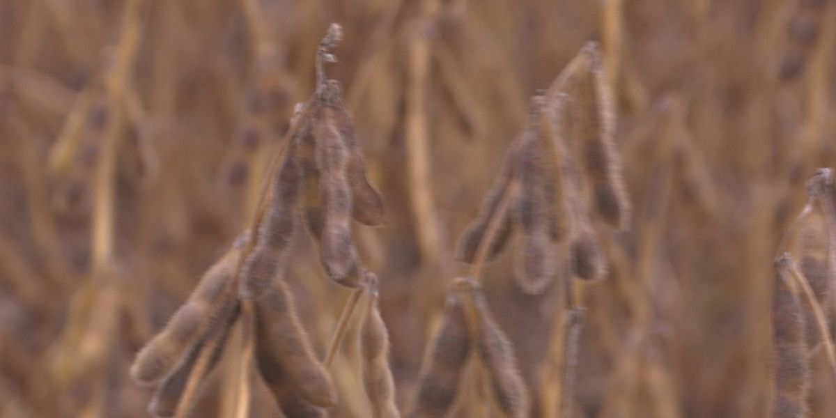 Soybean seed conditioning facility looking to start-up in Blue Earth