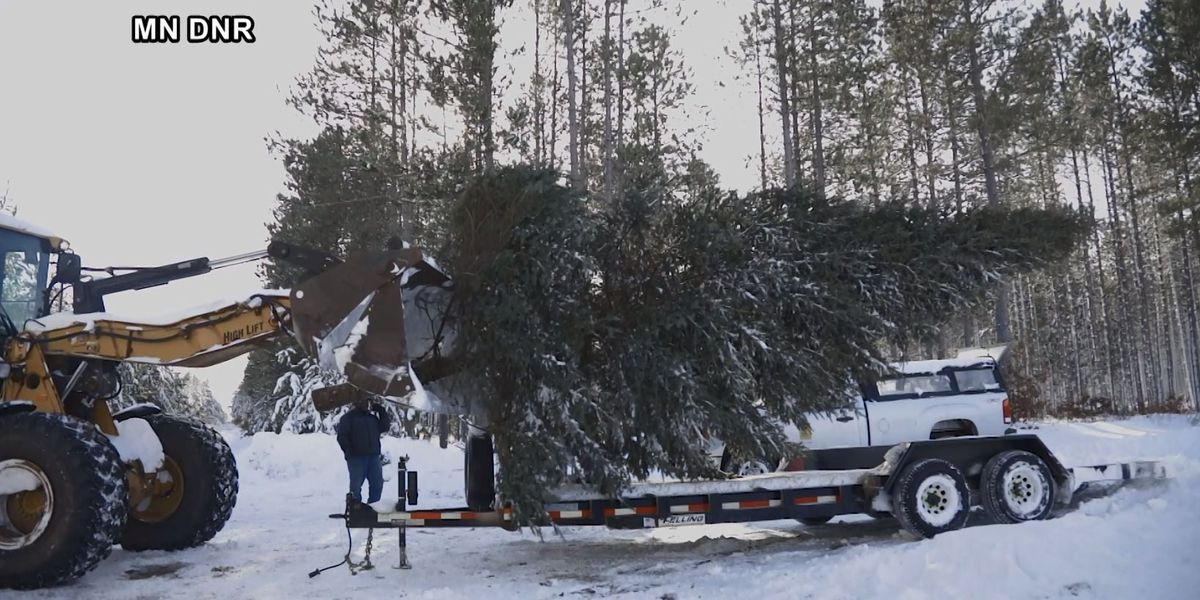 Minnesota State Christmas tree cut from state forest in Pine County